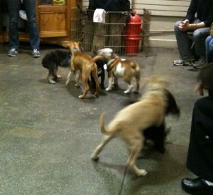 New York Dog Spa puppy play group