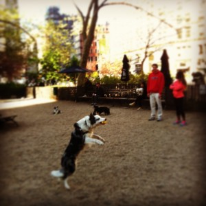 border collie in Madison Square Park